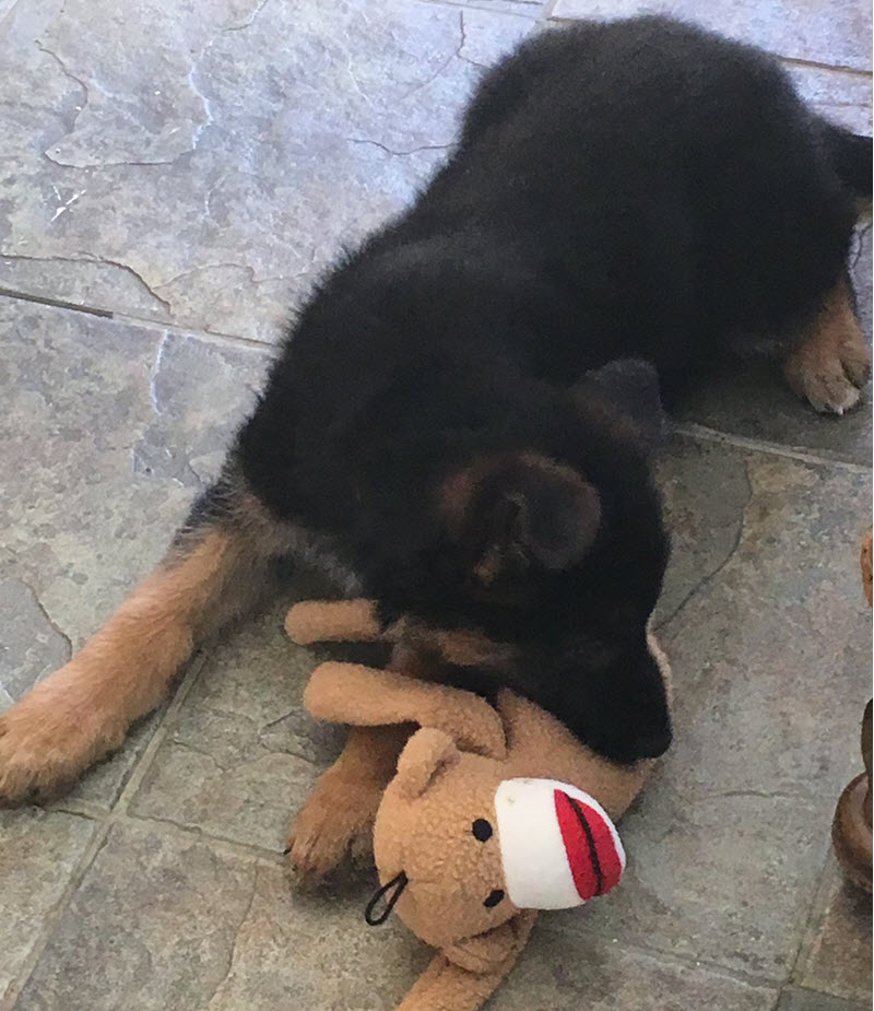 German shepherd puppy on a tiled floor playing with a stuffed sock monkey toy.