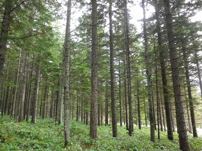 A forest with tall slim trees.
