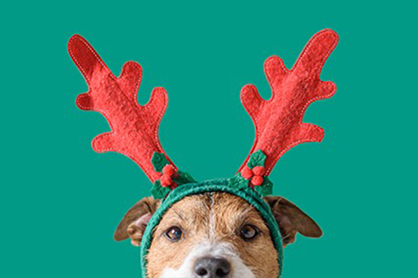 Brown and white dog with antler headband in front of green background.